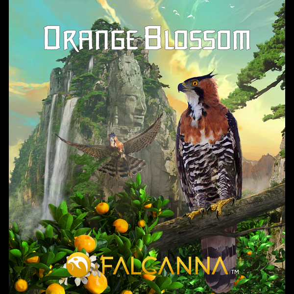 Falcanna orange blossom 2
